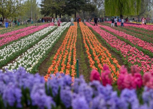 tulip garden, एशिया का सबसे बड़ा ट्यूलिप गार्डन देखने दूर-दूर से श्रीनगर आ रहे हैं सैलानी, देखें तस्वीरें