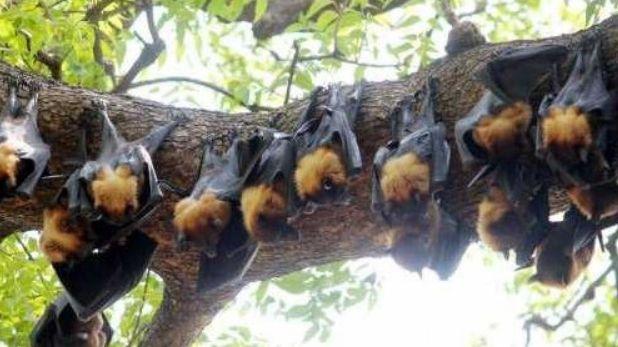 , गुना में मिले 250 मृत चमगादड़, 2000 तक पहुंच सकती है संख्या, निपाह वायरस फैलने का खतरा