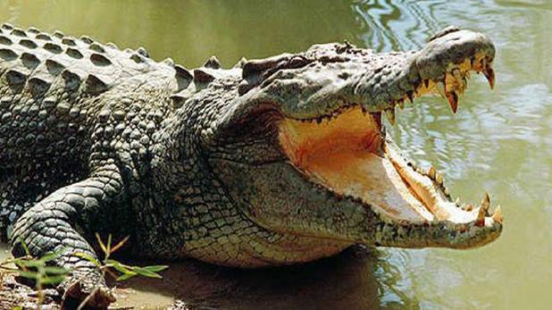 Zimbabwe Crocodile Eyes, लड़की की जान दांव पर लगी थी, मगरमच्छ की आंखें फोड़ दोस्त ने बचाई जिंदगी