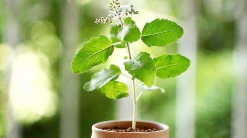 Vastu tips : भूलकर भी घर की छत पर न रखें तुलसी का पौधा, होगा अशुभ प्रभाव |  Vastu tips Tulsi basil plant know why tulsi grow on terrace and its  direction|