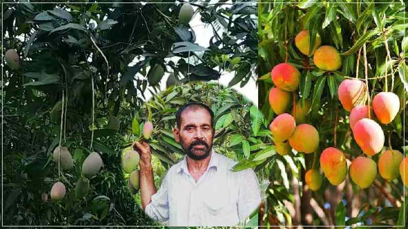 गजब: एक ही पेड़ में उगा डाले 10 तरह के आम, बिहार के मैंगो मैन ने बताया- कैसे किया ये कमाल